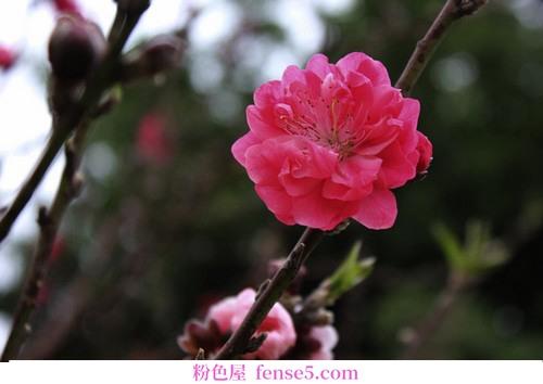 桃树盛开了